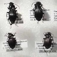 Carabid beetles from Aylmer (Gatineau), Quebec's Boucher forest